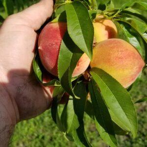 Peaches 1 lb