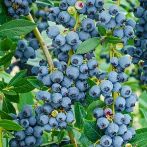East Texas Blueberries 1/2 pint