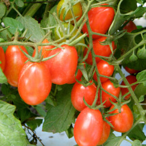 Red Cherry Tomatoes 1/2 lb