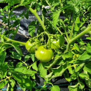 Green Tomatoes 1 lb