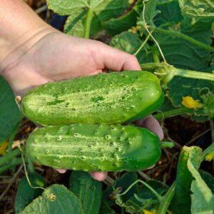 Pickling Cucumbers 1 lb