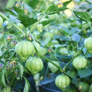Tomatillos 1 lb