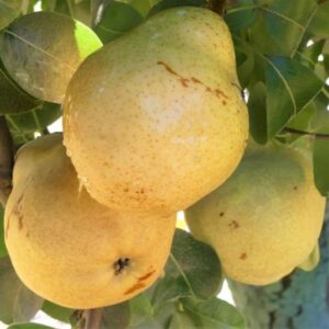 Bartlett Pears 1 lb