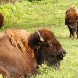 GP Ranch Ground Bison 1 lb